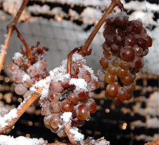 1163_1_ice_wine_grapes